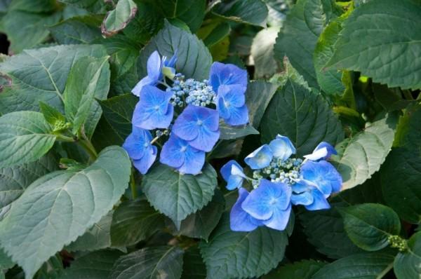 Tellerhortensie 'Blaumeise'-1