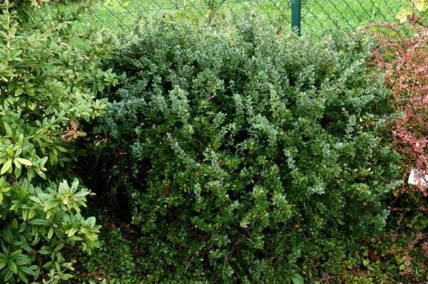 Grüne Polsterberberitze-1