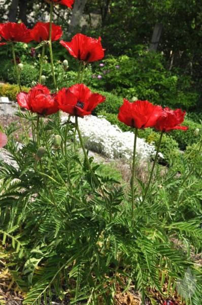 Orientalischer Garten-Mohn-1
