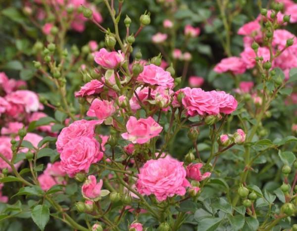 Zwergrose 'Pepita' ® ADR-Rose-1