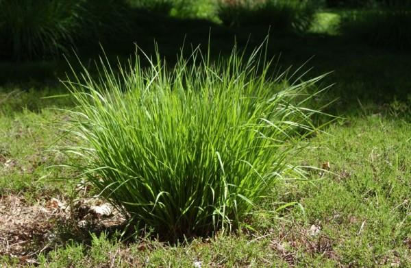 Kleines Garten-Pfeifengras-1