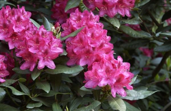 Rhododendron-Hybride 'Nova Zembla'-1