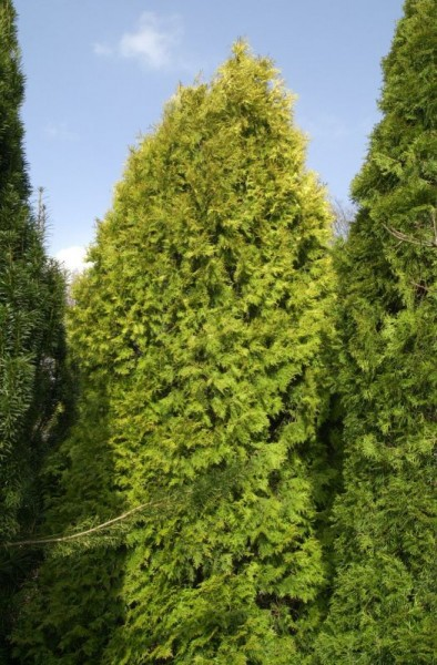 Thuja Occidentalis 'Aurescens' / Goldener Lebensbaum-1