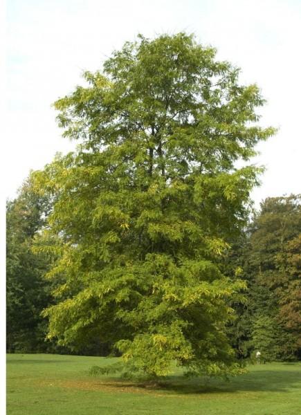 Lederhülsenbaum-1