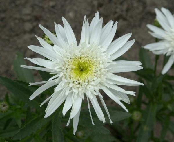 Großblumige Garten-Margerite-1