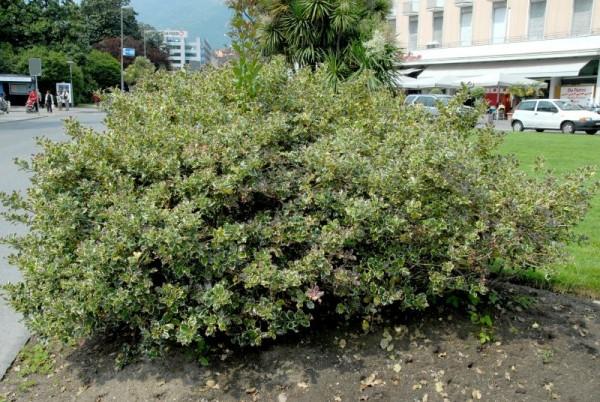Weißbunte Stechpalme 'Argentea Marginata'-1