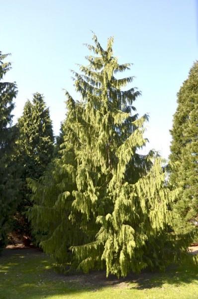 Gartenzypresse 'Glauca Spek'-1