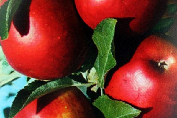 Apfel 'Roter Jonathan'-1