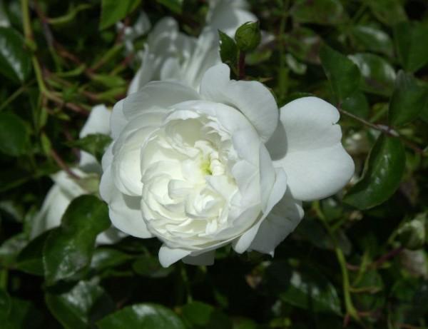 Bodendeckende Rose 'Snow Ballet' ®-1