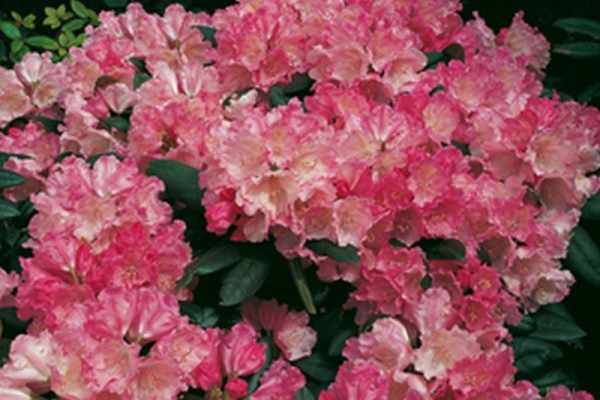 Yaku-Rhododendron 'Polaris'-1