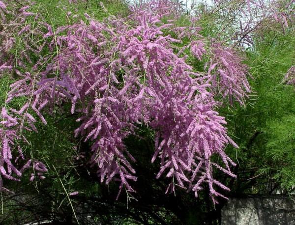 Kaspische Tamariske 'Pink Cascade'-1
