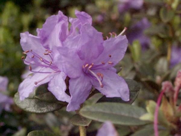 Kleinblättr.Rhododendron 'Blue Tit'-1