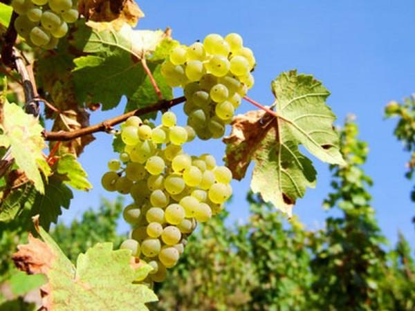 Weintraube 'Weißer Gutedel' -S--1