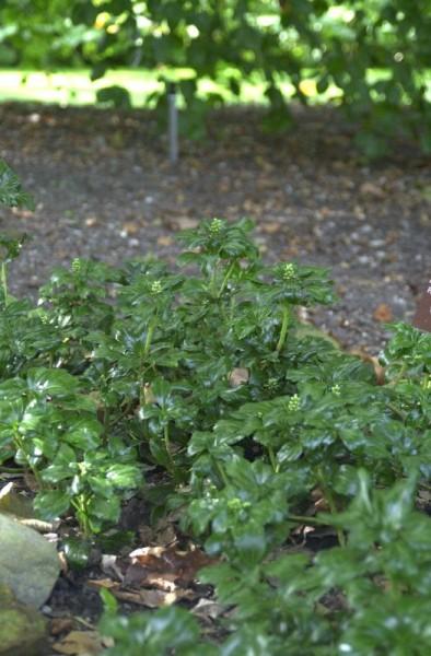 Schattengrün 'Green Sheen' ®-1