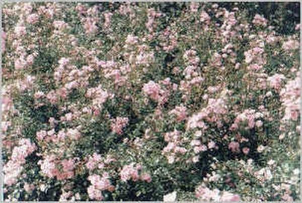 Englische Bodendeckende Rose 'The Fairy'-1