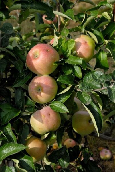 Apfel 'Ontario' spät-1