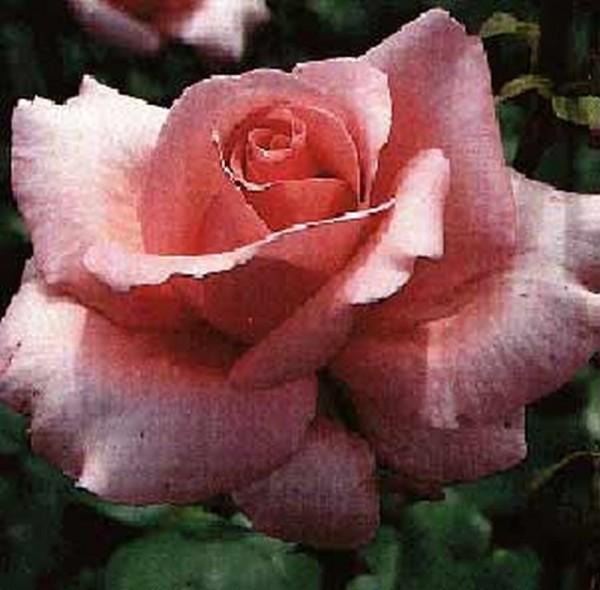 Edelrose 'Carina' ®-1