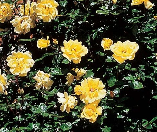 Kletterrose 'Golden Showers' ®-1