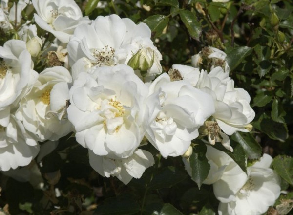 Bodendeckende Rose 'Schneeflocke' ® ADR-Rose-1