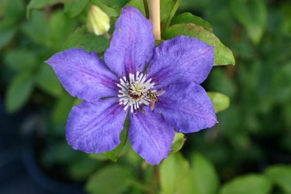 Waldrebe 'Blue Gem'-1
