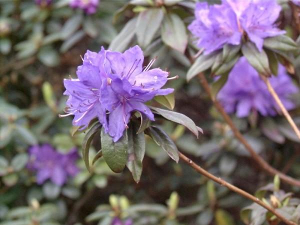 Rhododendron russatum 'Gletschernacht'-1