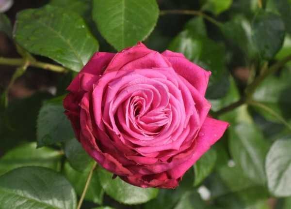 Edelrose 'Senteur Royale' ®-1