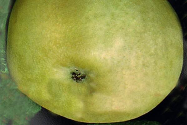 Apfel 'Weißer Klarapfel' früh-1