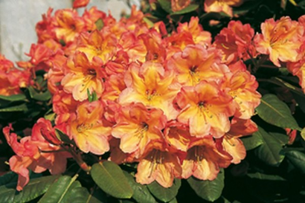 Rhododendron-Hybride 'Macarena'-1