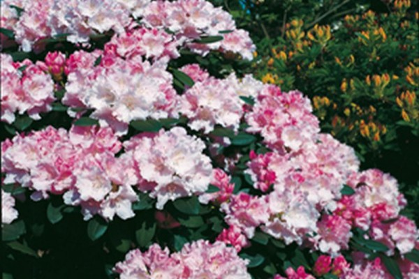 Yaku-Rhododendron 'Silberwolke'-1