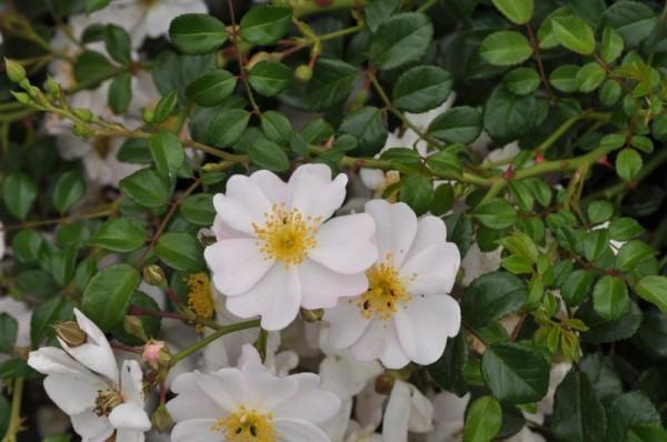 Bodendeckende Rose 'Medeo' ® ADR-Rose-1