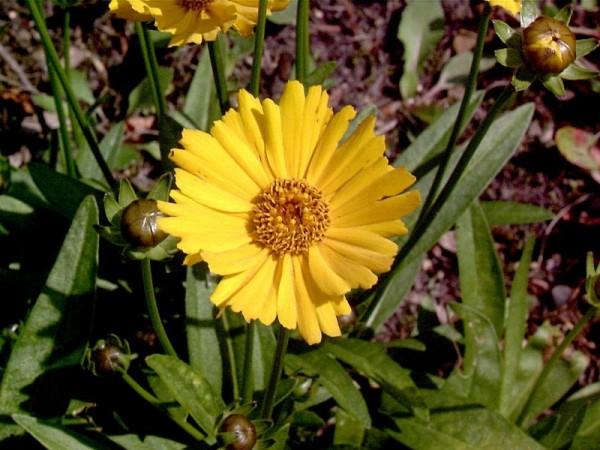 Großblumiges Garten-Mädchenauge-1