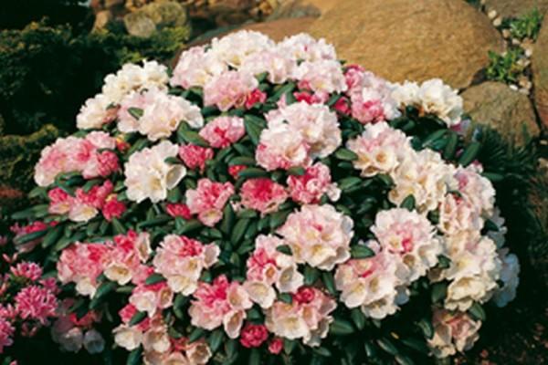 Yaku-Rhododendron 'Koichiro Wada'-1
