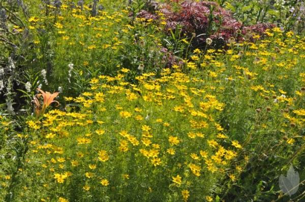 Quirlblättriges Garten-Mädchenauge-1
