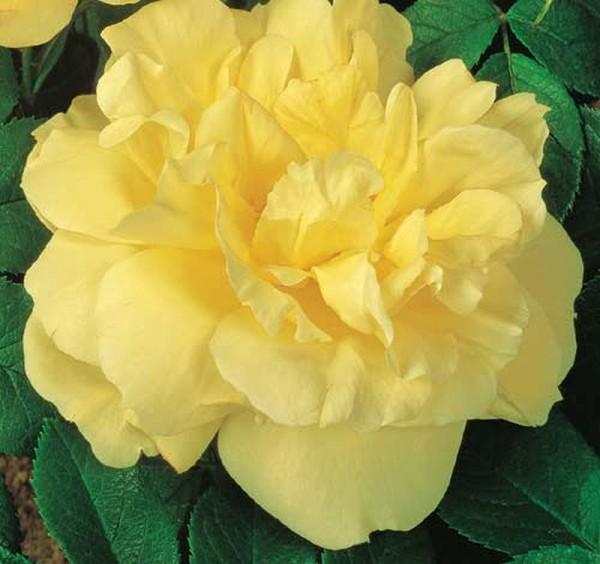 Bodendeckende Rose 'Gelbe Dagmar Hastrup' ®-1