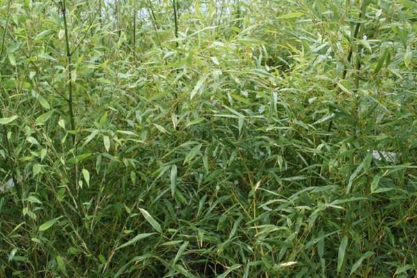 Winterharter Bambus-1