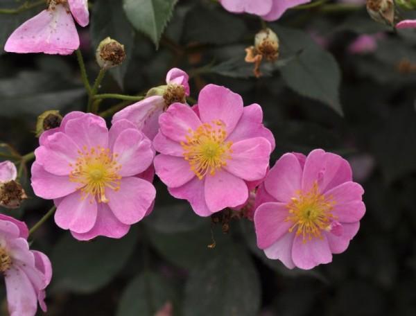 Bodendeckende Rose 'Lavender Dream' ®-1
