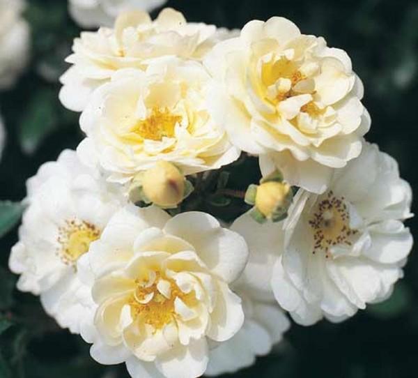 Bodendeckende Rose 'Heidesommer' ®-1