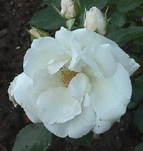 Bodendeckende Rose 'Aspirin-Rose' ® ADR-Rose-1