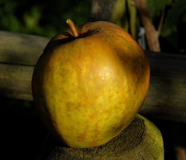 Apfel 'Finkenwerder Herbstprinz' spät-1