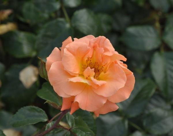 Beetrose 'Westzeit' ® ADR-Rose-1