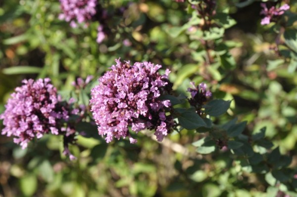 Garten-Blüten-Dost-1
