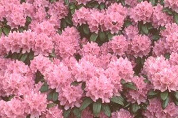 Rhododendron-Hybride 'Catawb.Grandiflorum'-1