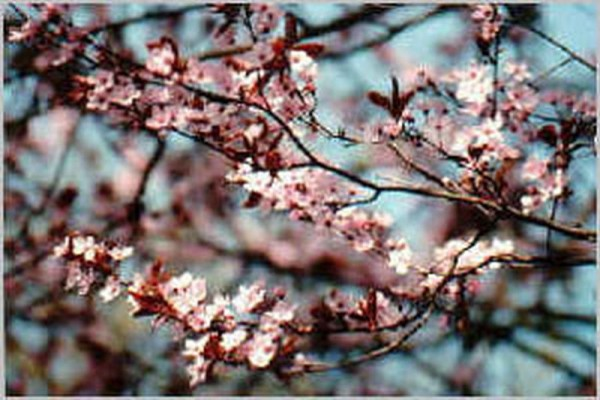 Blutpflaumenbaum / Blutpflaumenstamm-1