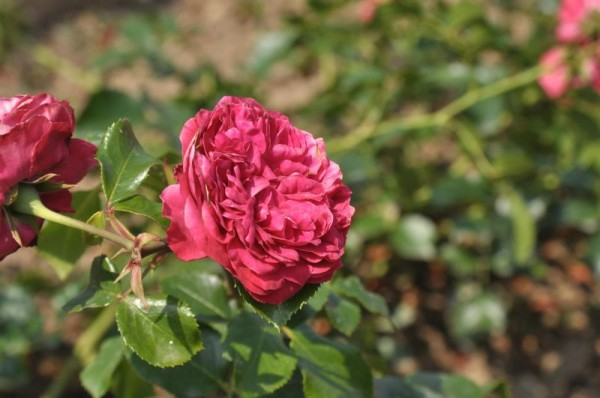 Beetrose 'Red Leon. da Vinci' ® ADR-Rose-1