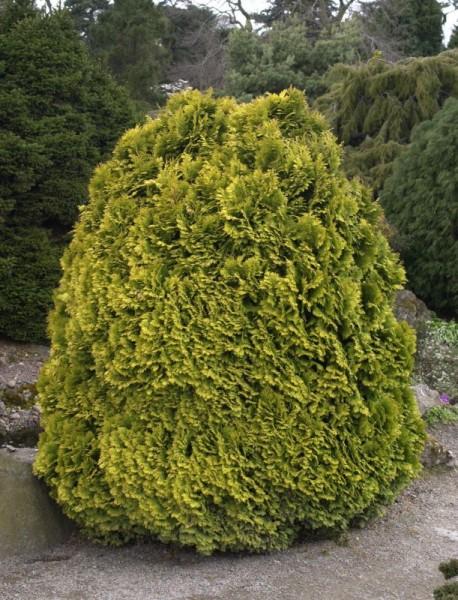 Gelbe Kissenzypresse-1