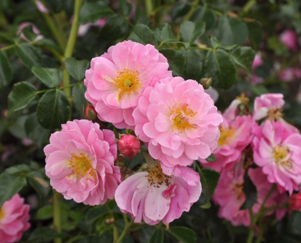 Bodendeckende Rose 'Magic Meidiland' ®ADR-Rose-1