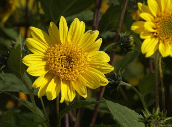 Garten-Stauden-Sonnenblume-1