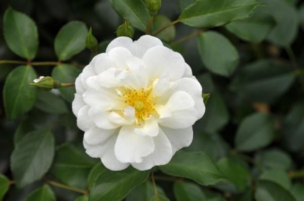 Bodendeckende Rose 'Schneekönigin' ® ADR-Rose-1