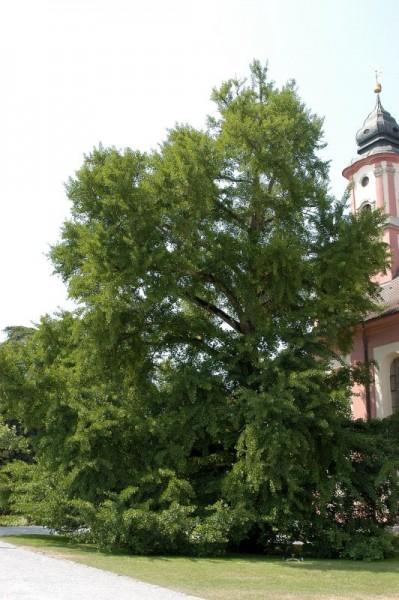 Ginkgobaum Hochstamm / Hausbaum-1
