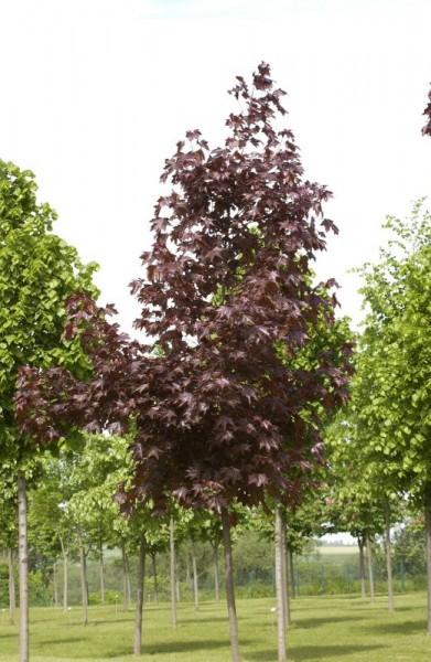 Oregon-Blutahorn 'Royal Red'-1